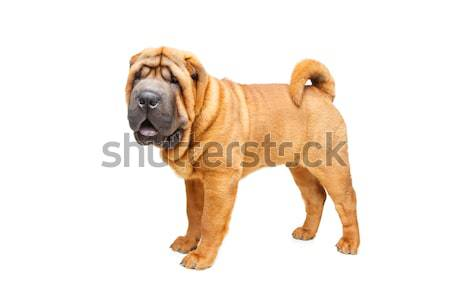 beautiful shar pei puppy Stock photo © svetography
