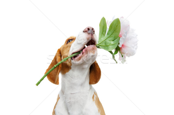 Stock photo: beautiful beagle dog with flower