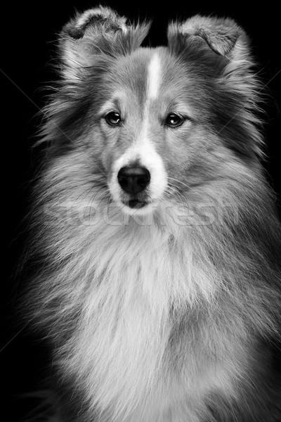 Stok fotoğraf: Köpek · portre · güzel · çoban · köpeği