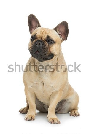 Belle français bulldog chien portrait jeunes Photo stock © svetography