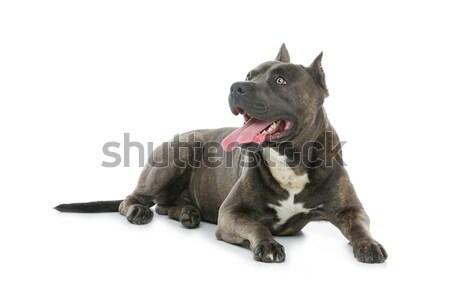 Beautiful amstaff dog Stock photo © svetography