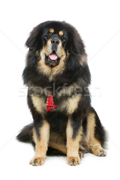 美しい ビッグ マスチフ 犬 肖像 座って ストックフォト © svetography