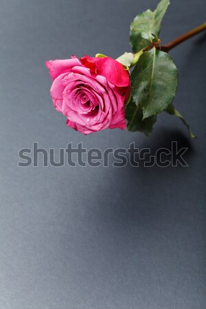 pink rose isolated on white Stock photo © svetography