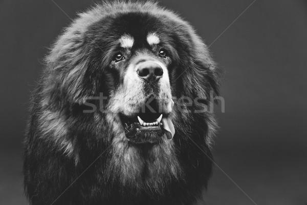 Gyönyörű nagy masztiff kutya közelkép portré Stock fotó © svetography