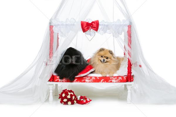 Foto stock: Cão · casamento · casal · cama · belo · cinza