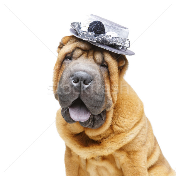 beautiful shar pei puppy in hat Stock photo © svetography