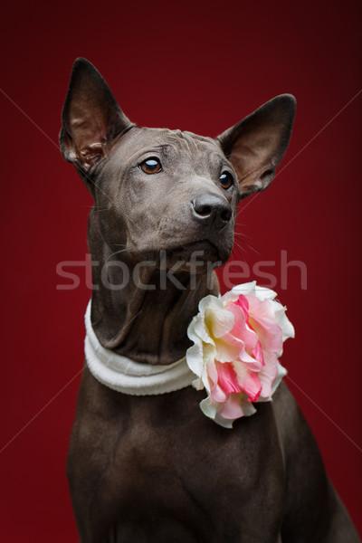 Stok fotoğraf: Güzel · Taylandlı · köpek · yavrusu · siyah · kadın · köpek