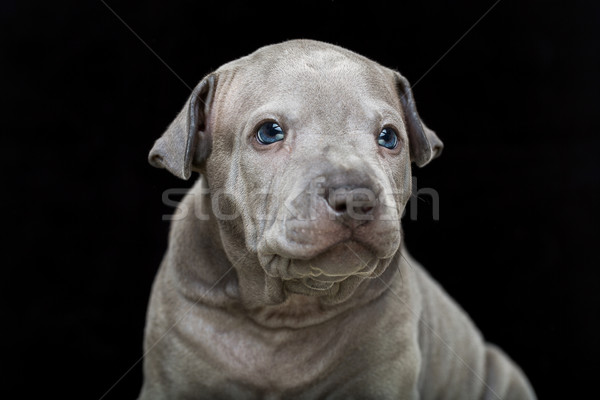 Thai ridgeback puppy isolated on black Stock photo © svetography