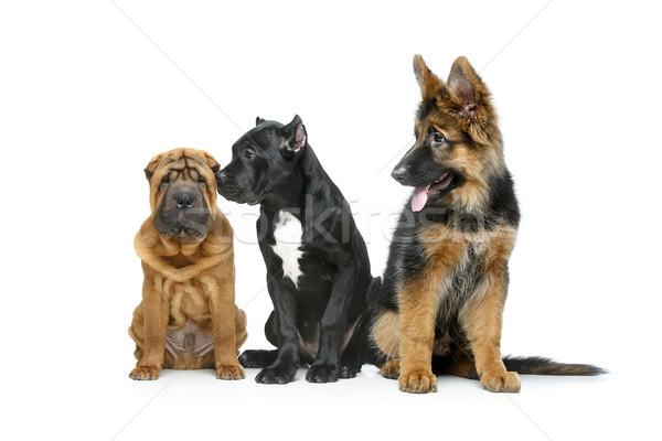Mooie drie puppy honden riet geïsoleerd Stockfoto © svetography