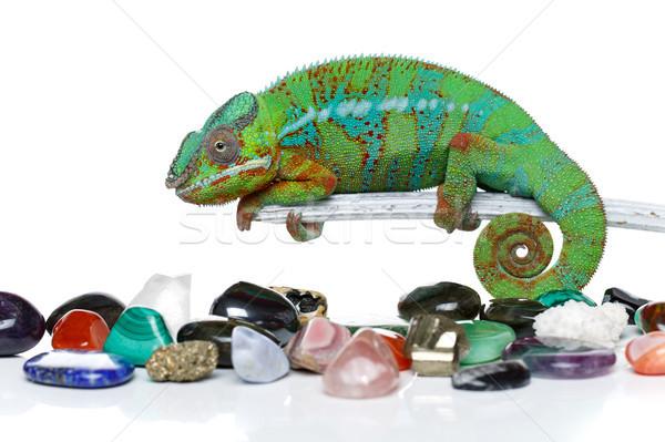 żywy Chameleon gad kamienie kopia przestrzeń Zdjęcia stock © svetography