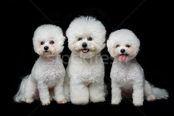 Foto stock: Belo · cães · três · sessão · preto · cópia · espaço