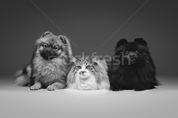 beautiful spitz dogs on grey background Stock photo © svetography