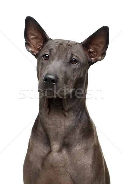 Belle thai chiot chien super court Photo stock © svetography
