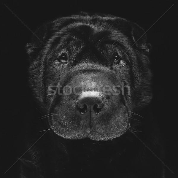 Black shar pei Stock photo © svetography