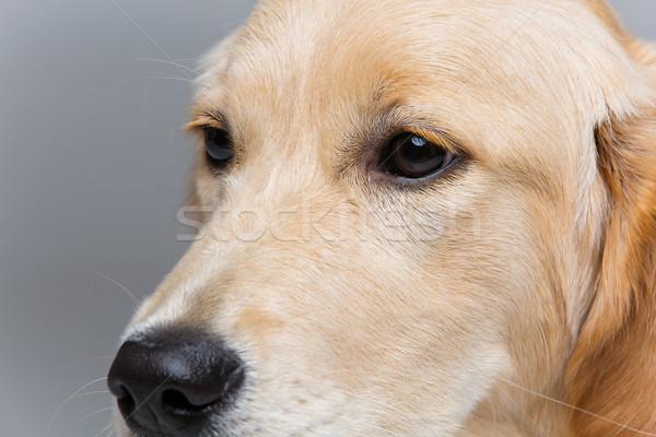 Jeunes golden retriever chien visage yeux Photo stock © svetography