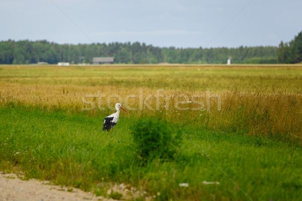 Leylek ayakta çim alanı açık atış ışık Stok fotoğraf © svetography