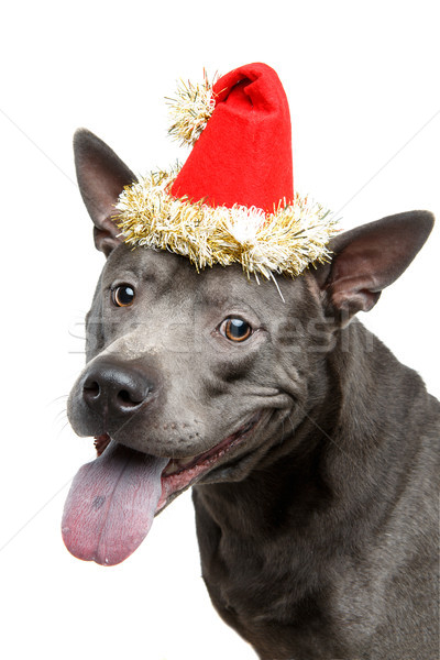 beautiful thai ridgeback dog in christmas hat Stock photo © svetography