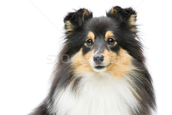 Tricolor sheltie dog Stock photo © svetography