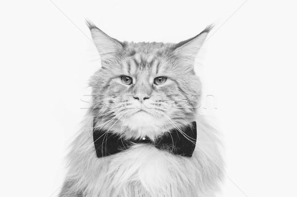 красивой кошки большой черный копия пространства Сток-фото © svetography