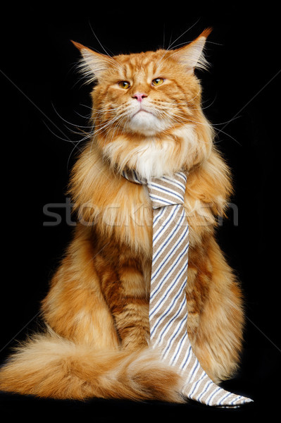 Stock photo: Beautiful maine coon cat with man tie
