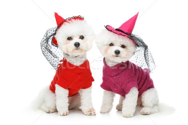 beautiful bichon frisee dogs Stock photo © svetography