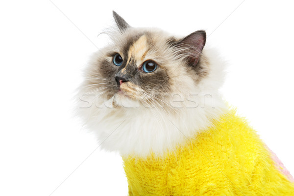 Stock photo: beautiful birma cat in yellow pullover