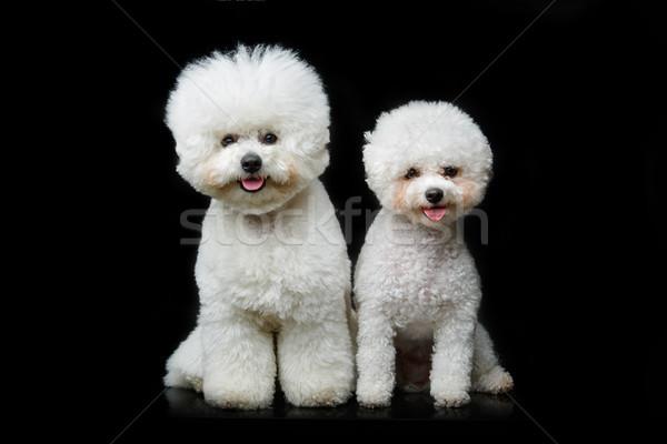 Foto stock: Belo · cães · dois · sessão · preto · cópia · espaço