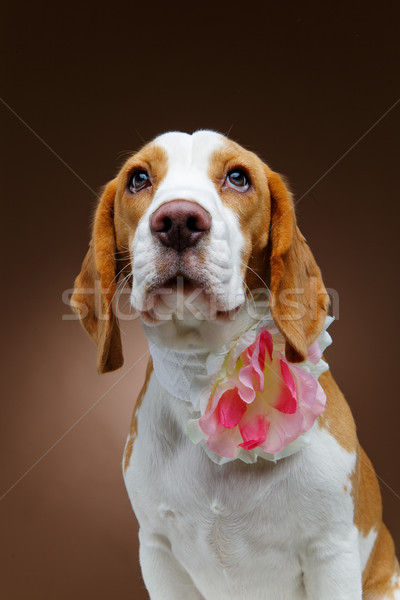 beautiful beagle dog with flower Stock photo © svetography