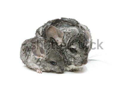 Two chinchillas isolated over white background Stock photo © svetography