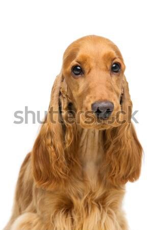Stockfoto: Mooie · jonge · portret · bruin · Engels · hond