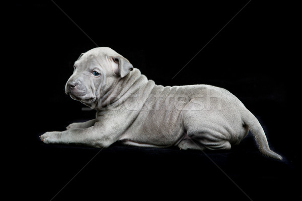 Thai ridgeback puppy on black background Stock photo © svetography