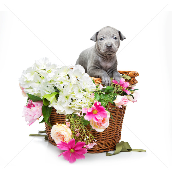 Thai ridgeback puppy in basket isolated on white Stock photo © svetography