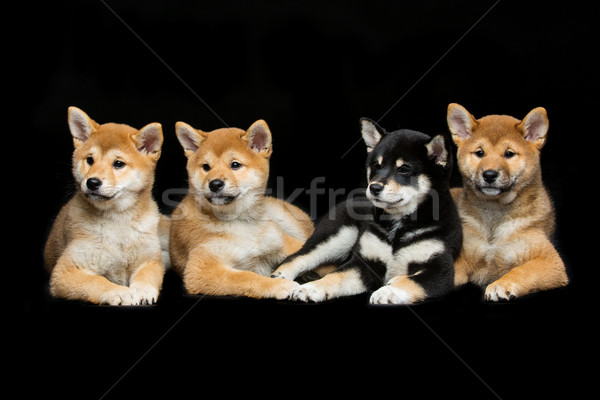 Beautiful shiba inu puppies Stock photo © svetography