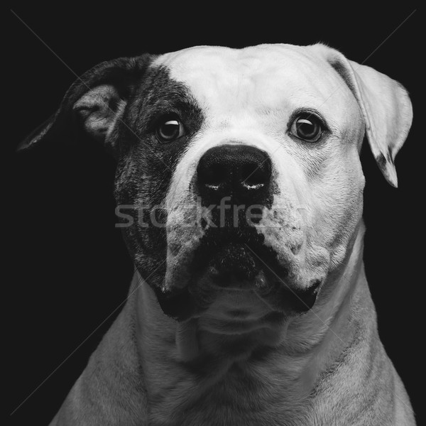Американский бульдог портрет красивой взрослый Сток-фото © svetography