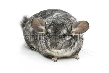 Cute chinchilla isolé blanche adulte espace de copie Photo stock © svetography