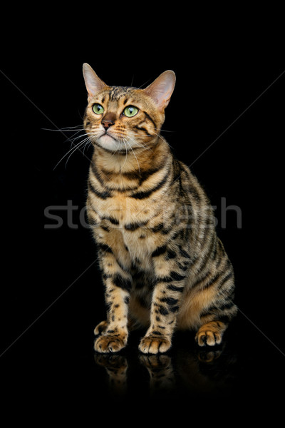 красивой кошки портрет что-то Сток-фото © svetography