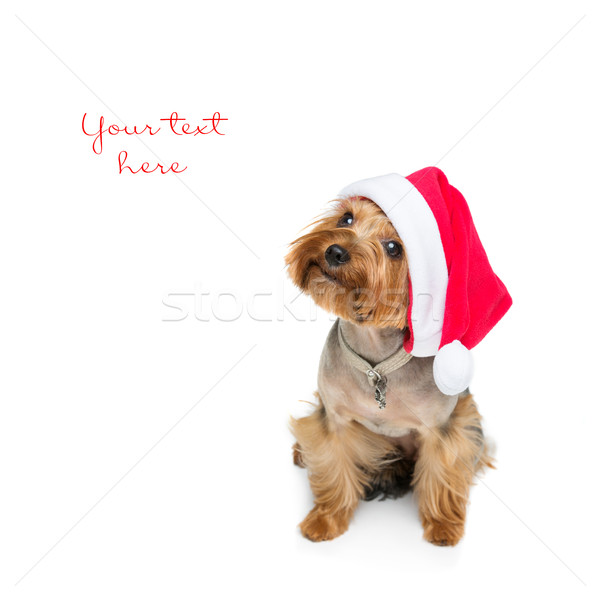 Yorkshire terrier dog in christmas cap Stock photo © svetography