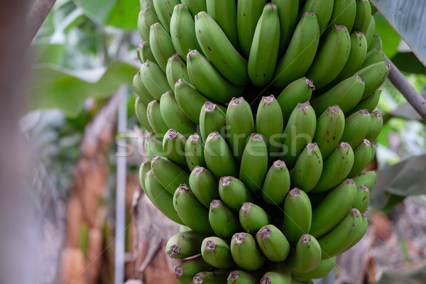 banana trees on Canarian island Stock photo © svetography