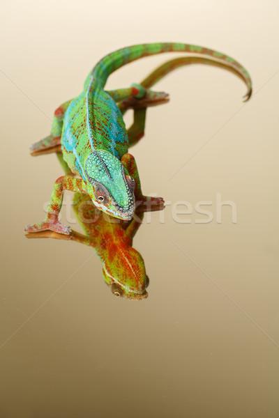 Vivo camaleão réptil sessão espelho superfície Foto stock © svetography