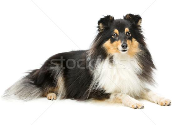 Tricolor perro hermosa aislado blanco espacio de la copia Foto stock © svetography