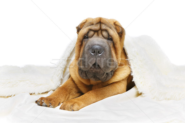 shar pei puppy under plaid Stock photo © svetography