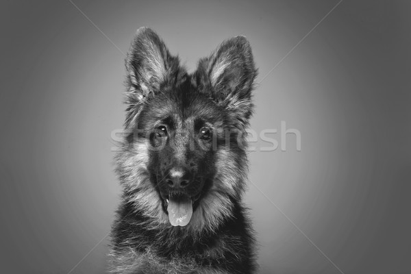 beautiful german shepard puppy Stock photo © svetography