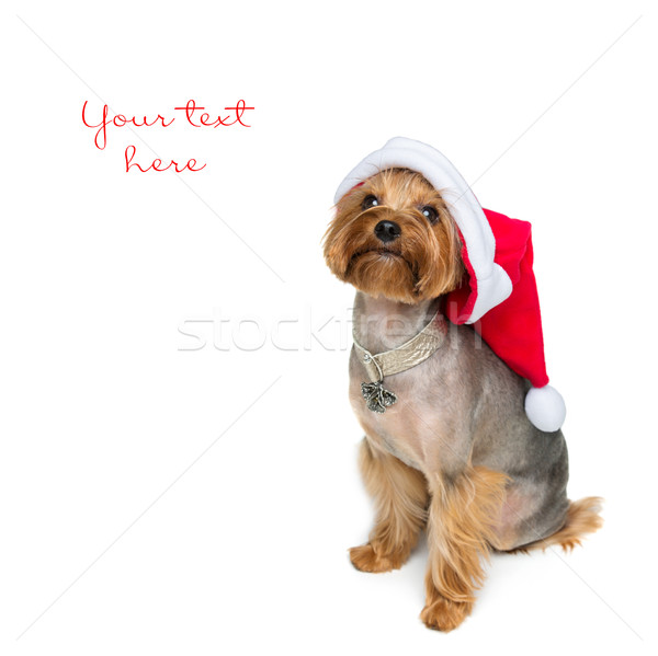 Yorkshire terriër hond christmas cap aanbiddelijk Stockfoto © svetography