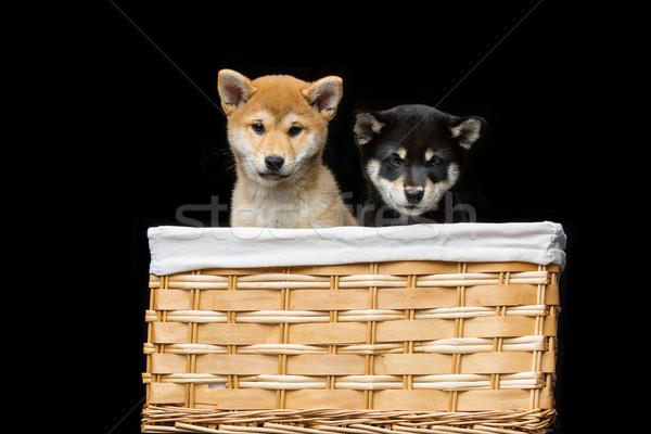 Stockfoto: Mooie · puppies · mand · zwarte · bruin · japans