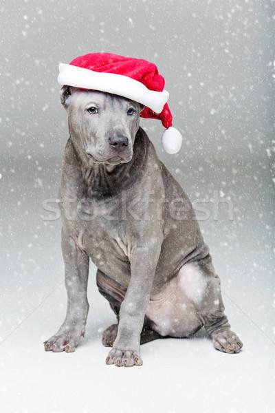 Stock photo: thai ridgeback puppy in xmas hat