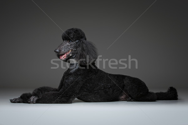 Belle noir caniche gris adulte chien Photo stock © svetography