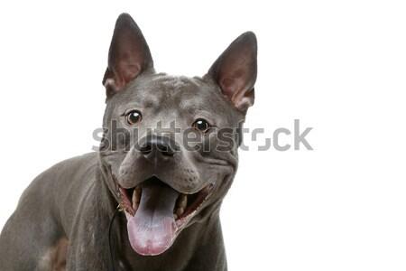 Gyönyörű kék thai kutya fiatal mosolyog Stock fotó © svetography