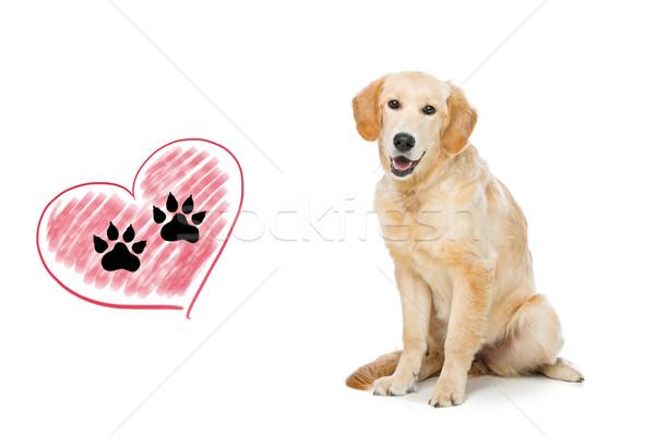 Jeunes golden retriever chien séance imprimer Photo stock © svetography