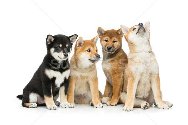 Beautiful shiba inu puppies isolated on white Stock photo © svetography