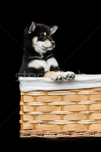 Beautiful shiba inu puppy in basket Stock photo © svetography
